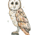 Owl | Art Print | Watercolour Art | Australian Bird | Australian Wildlife