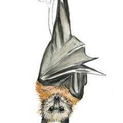 Flying Fox | Art Print | Watercolour Art | Australian Animal | Bat | Animal