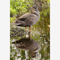 Reflection - Pacific Black Duck -  Photographic Card