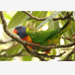 Rainbow Lorikeet in a loquat tree - Photographic Card