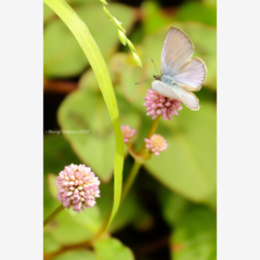 Common Grass Blue Butterfly  - Photographic Card