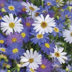Native Blue & White Swan River Daisy 6pc Seed Bomb Bag