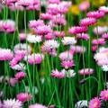 Native Pink & White Everlasting Daisy Seed Bomb Jar Large