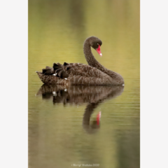 Black Swan - Photographic Card