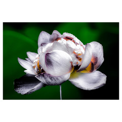 Lotus Flower V2 Colour - Laminated Poster A3