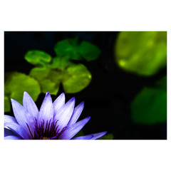 Lotus Flower V3 Colour - Laminated Poster A3
