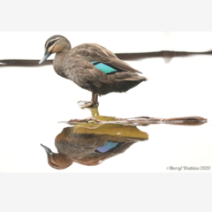 Pacific Black Duck - A Moment of Reflection -  Photographic Card
