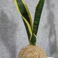 Kokedama | Sansevieria (Medium Size)