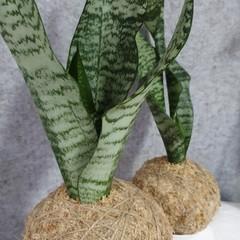Kokedama | Sansevieria (2 sizes)