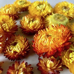 Everlasting Daisies - Dried flowers- Yellow Autumn - 6 pieces - Paper Daisies