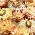 Everlasting Daisies - Dried flowers- White & pastel colours  - 6 pieces