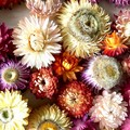 Everlasting Daisies - Dried flowers-Autumn colours mix  - 6 pieces