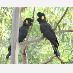 Yellow-Tailed Black Cockatoos -  Photographic Card
