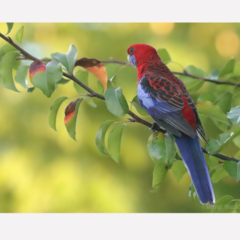 Crimson Rosella in the late afternoon - Photographic Card