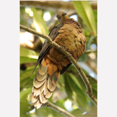 Brown Cuckoo-Dove - Photographic Card