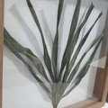 Framed Dried Leaf