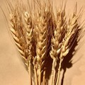 Natural dried wheat - 10 stems - Dried flowers - Country - Boho
