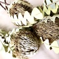 Dried banksia baxteri - 1 stem - Native - Flower