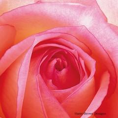 2 Paper Napkins / Serviettes for Decoupage / Parties / Weddings - Rose