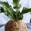 Kokedama   Zygocactus