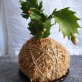 Kokedama   Zygocactus (Small)