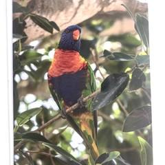 Rainbow Lorikeet Card