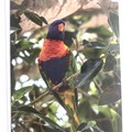 Rainbow Lorikeet Card