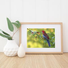 Crimson Rosella in the late afternoon - A4 Print