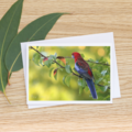 Crimson Rosella in the late afternoon - Photographic Card #17
