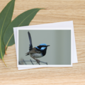 Male Superb Fairy-Wren  - Photographic Card #9