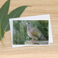 Common Bronzewing Pigeon - Photographic Card