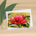 Waratah - Photographic Card #16