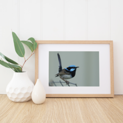 Male Superb Fairy-Wren - A4 photographic print