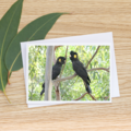Yellow-Tailed Black Cockatoos -  Photographic Card #18