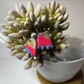 Tulip Dangleys