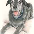 Pet Portrait A3 COLOUR Custom illustration of animal pet dog cat horse wildlife