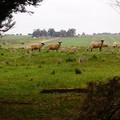 Sheep Prints