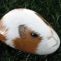 "Guinea Pig rock ""Henry"""