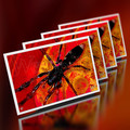 White Tip Spider - Mini Cards