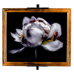 Lotus Flower Framed - Fine Art Print with custom moulding