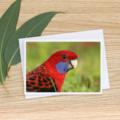 Crimson Rosella Close Up - Photographic Card #27