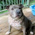 Dog Bandana - Strawberry Fields, Dog Neckerchief, Dog Tie Up Bandana, Dog Scarf