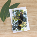 Male Yellow-Tailed Black Cockatoo -  Photographic Card #29