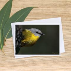 Eastern Yellow Robin  - Photographic Card #30