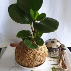 Kokedama | Peperomia (2 Sizes)