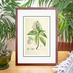 Vintage 1875 Botanical Flora Print, Botanical Wall Art, Unframed Print, VBP002