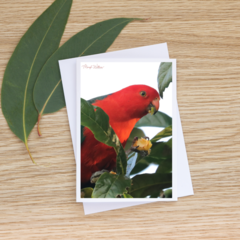 Male King Parrot in a loquat tree - Photographic Card #33