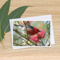 Scarlet Honeyeater - Photographic Card #35