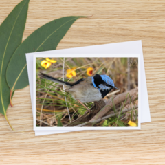 Male Superb Fairy-Wren in moult  - Photographic Card #37