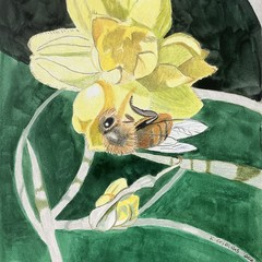 Conostylis flower with bee (illustration)